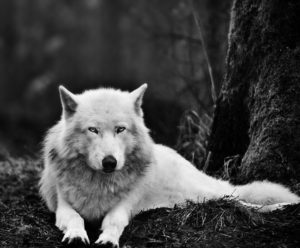 Wolf-White-Wolf-Pictures-HD-Wallpaper